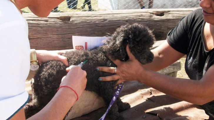 Como vacunar a un poodle