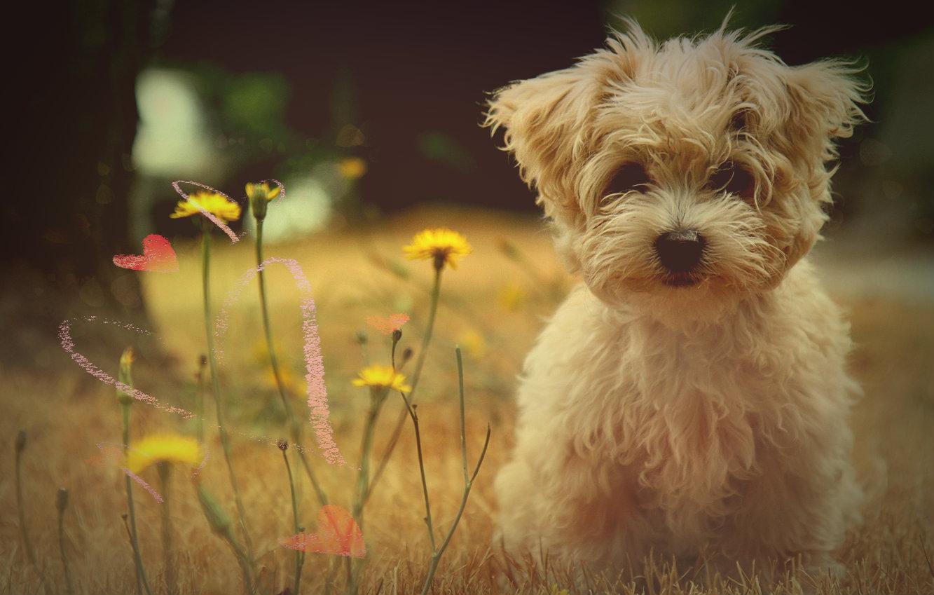 Como cuidar a un Poodle