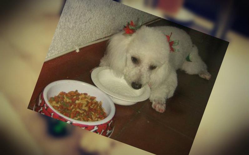 Poodle inapetente no quiere comer