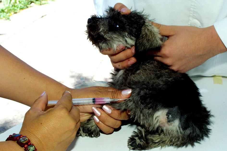 vacunacion a poodles