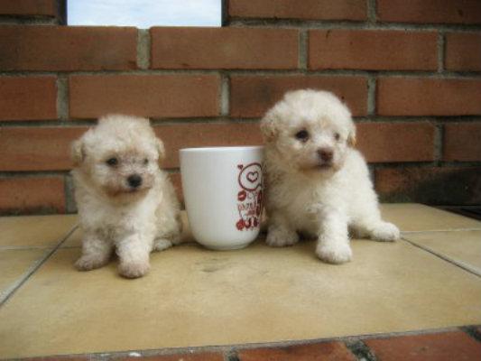 C mo elegir la comida de mi poodle poodlelandia - Comida para cachorros de un mes ...