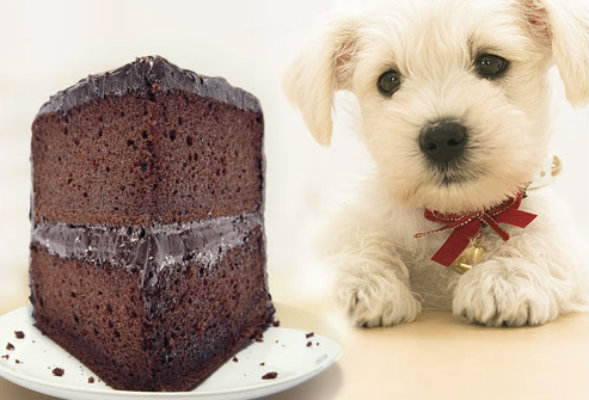 El chocolate es perjudicial para los animales