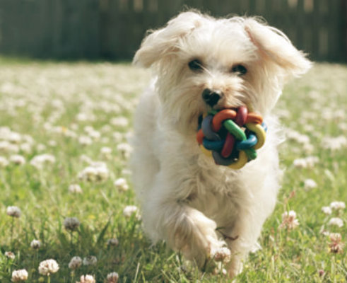 Rutinas de ejercicio para Poodle