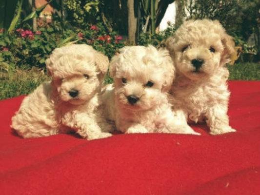 familia de poodles