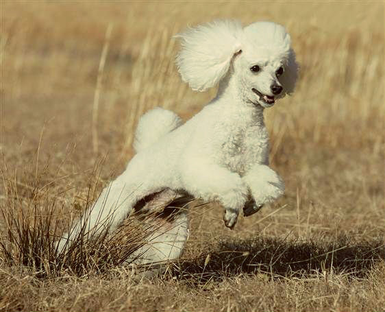 flatulencias en poodles