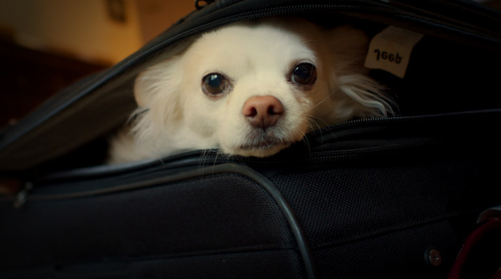 Emigrar con mi poodle