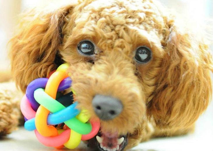 Juguetes para poodles