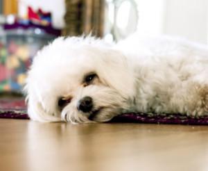 problemas cuales son los problemas digestivos más comunes en un poodle