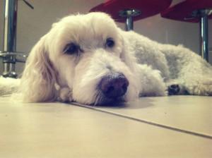 problemas lemas probdigestivos más comunes en un poodle segun su edad
